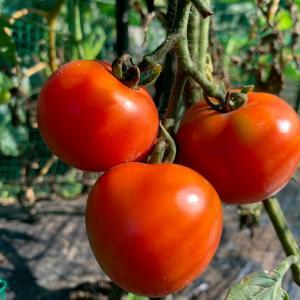 ミニトマトを数えたハナシ