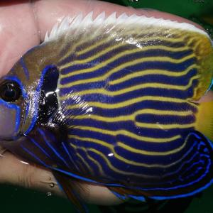 海水魚 ウズマキ大量入荷 マニラ便❗️
