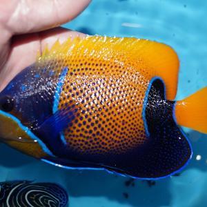 海水魚 7月8日はインドネシア便