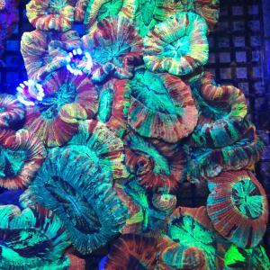 サンゴ ゆらゆら LPS個体アップ❗️ナガレハナなどなど