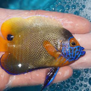 海水魚 アデヤッコ個体販売アップしました‼️