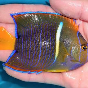 海水魚 大量ヤッコアップアップ!