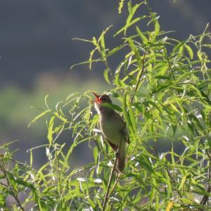 利根川河川敷の野鳥(6月上旬)