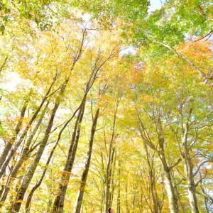 刈込池の遊歩道に広がるブナの原生林が織りなす秋色ステンドグラス