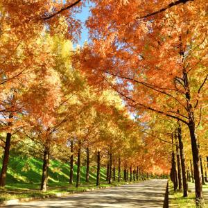穏やかな午後の陽射しに照らされる金沢市のベットタウン「太陽が丘ニュータウンのメタセコイア並木」