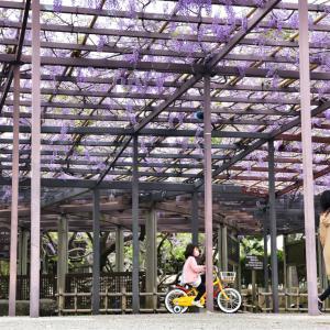 樹齢210年のノダフジで有名な芦城(ろじょう)公園の藤棚