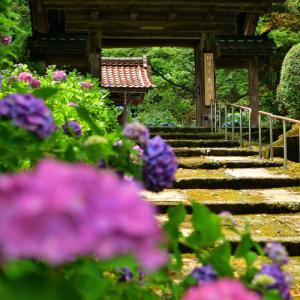 地元の人たちから「あじさい寺」と親しまれている本興寺(ほんこうじ)の紫陽花