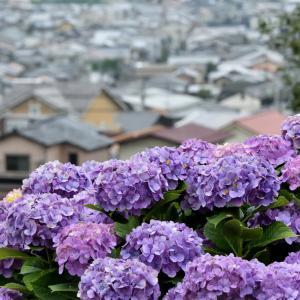 金沢市の住宅街のすぐそばにある大乗寺丘陵公園内に広がる紫陽花ロード