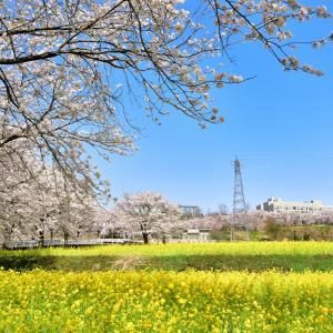 菜の花と桜並木が織りなす春爛漫なセカイ 北陸大学太陽が丘キャンパスの桜並木