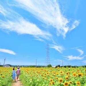 福井県の穴場ひまわり畑スポット「池上ひまわりパーク」   蒼空の下、広大な農地に咲き乱れる太陽の花畑