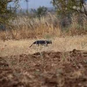 グラナダに黒ヒョウ!!! もしくはデカイ黒猫???
