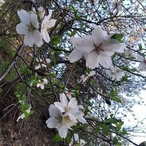 春の知らせが届いた。la floración de los almendros