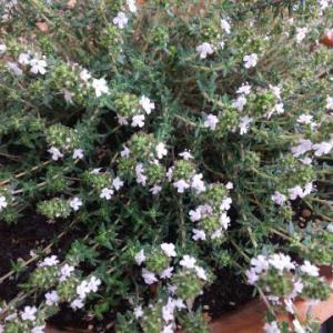 ★バジルとイタリアンパセリの発芽と小さな庭の可憐な花★