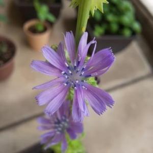 ★初めて見た、とっても華やかなガーデンレタスの花★