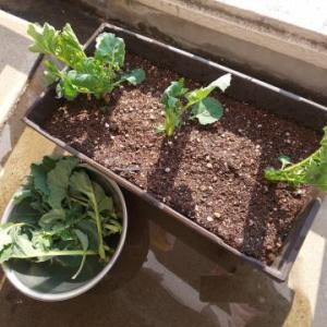 ★テラスで育てるのらぼう菜と野菜★