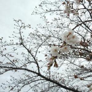 ★天白川、桜が咲き始めました★