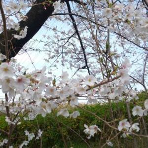 ★天白川の桜満開です★ 27 Mar. 2021