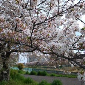 ★花びら舞い始めた天白川の桜★ 3 Apr. 2021
