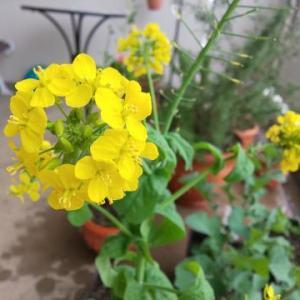 ★春の小さな庭-黄色い花がいっぱい★