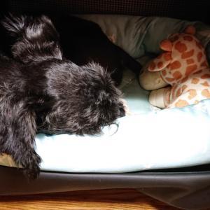 寝不足の慎之助と飼い主