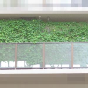 緑のカーテン 2019 ~ 定植130日目 ~