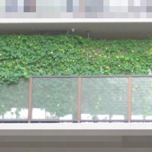 緑のカーテン 2019 ~ 定植150日目 ~