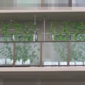 緑のカーテン 2020 ~ 定植50日目・苗2本追加~
