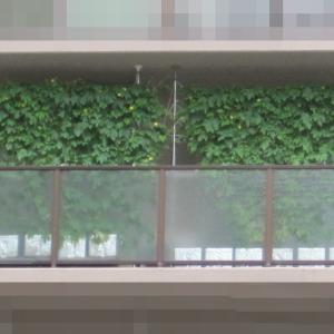 緑のカーテン 2020 ~ 定植70日目~