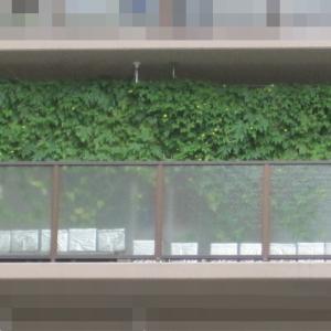 緑のカーテン 2020 ~ 定植100日目 ~