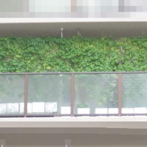 緑のカーテン 2020 ~ 定植110日目 ~