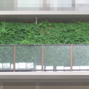 緑のカーテン 2020 ~ 定植150日目 ~