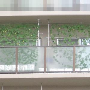 緑のカーテン 2021 ~ 定植60日目 ~