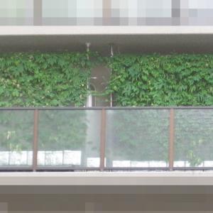 緑のカーテン 2021 ~ 定植100日目 ~
