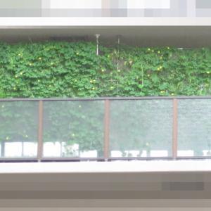 緑のカーテン 2019 ~ 定植120日目 ~