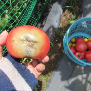 トマトがエソ病か?