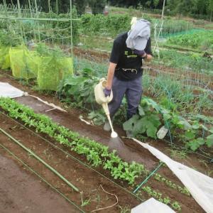 追加播種、寒冷紗掛け(ホウレンソウ、小松菜、ルッコラ)