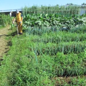 ネギ畝を除草