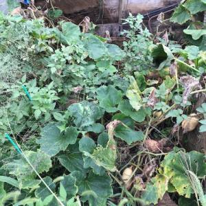 カボチャの収穫時