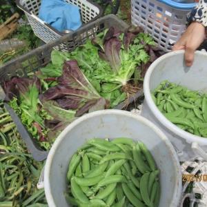 スナップエンドウが収穫のピーク
