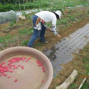 トウモロコシの播種