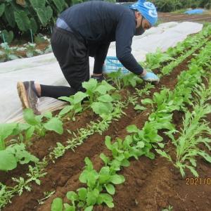 除草、間引き(水菜、ルッコラ、春菊、コカブ、ダイコン)