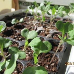 春キャベツの苗が徒長