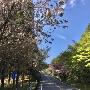 奥比叡ドライブウェイ 八重桜