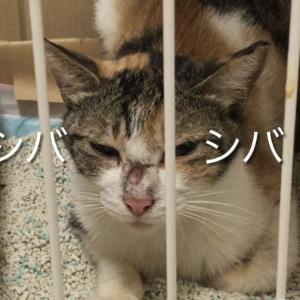 フーシャー威嚇が激しかった子猫。ちゅ~るのあまりの美味しさに警戒心もやわらぎリラックス。