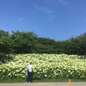 権現堂の紫陽花が見頃♪