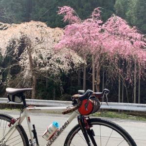 今日は やっぱりグラベルロード「ルイガノ号」 京見峠・持越峠の山桜