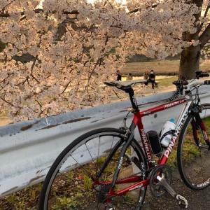 今日は やっぱりロードバイク 「ピナレロ号」 ~賀茂川は,桜が満開~