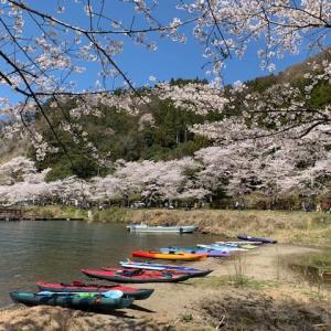 今日は やっぱりカヤック日和  ~海津大崎は桜満開~