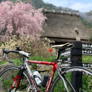 今日は やっぱりロードバイク 「ピナレロ号」 ~「ロードバイクの里」 美山は 名残りの桜~