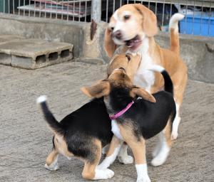 ビーグル子犬 今日の犬舎10/31 訃報